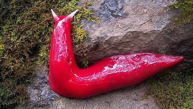 Pink Slug